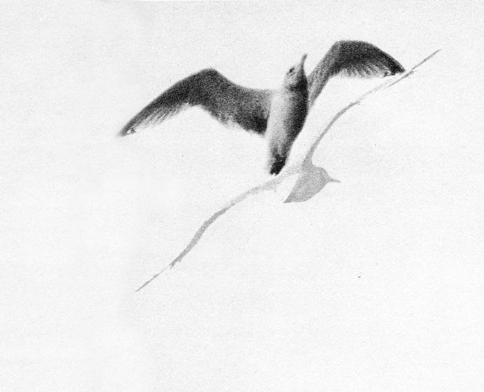 jonathan-livingston-seagull-foto-russel-munson